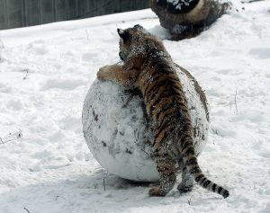 A tiger cub playing in the snow with a snowball twice its size