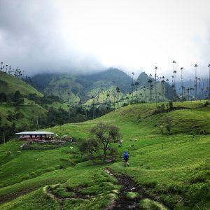 Cows and a small farmhouse in valle del cocora in salento, colombia