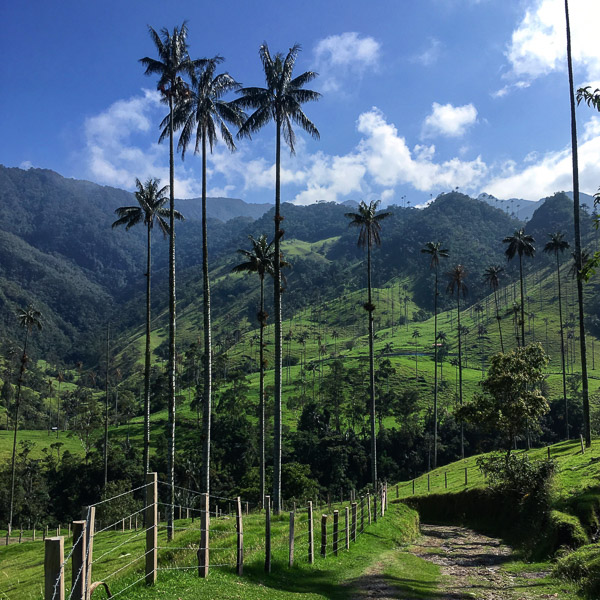 Wax palms of El Valle del Cocora in Salento, Colombia