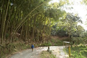 Huge trees on a path to coffee farm in Salento, Colombia