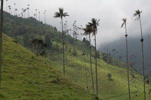palms valle del cocora