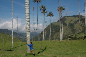 Huge wax palms valle del cocora