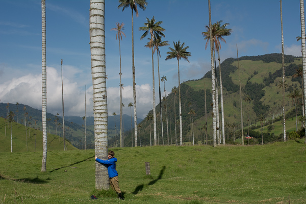 Huge wax palms valle del cocora